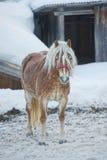 Häststående på den vita snön, medan se dig Royaltyfri Foto