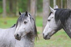 häststående två Ett par av hästar som visar affektion Tarpan hästar av aveln closeup Royaltyfri Bild