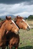 hästström två Arkivfoto