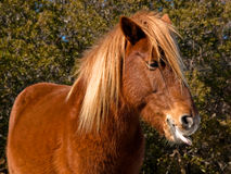 hästtunga Arkivbild