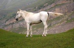 hästwhite Royaltyfri Fotografi