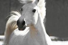 hästwhite Arkivfoton