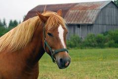 hästwhite Fotografering för Bildbyråer
