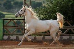 hästwhite Royaltyfria Bilder