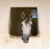 hästwhite Arkivfoto