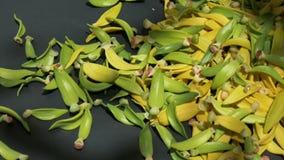 Häufen Sie Blumenblatt von Ilang-Ilang Blume auf schwarzem Hintergrund stock footage