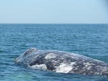 Hål för Grey Whale visningslag i Baja Mexico Arkivfoto