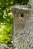 Hål i trädet Arkivbilder