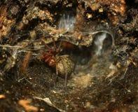 Håla av en spindel royaltyfri bild