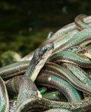 Håla av ormar i den thailändska djungeln Royaltyfria Bilder