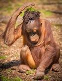Håll den kalla orangutanget Arkivfoto