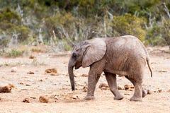 Håll din afrikanBush för huvudet ner - elefant Fotografering för Bildbyråer