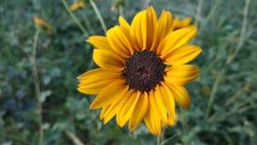 Håll din framsida in mot solsken och dig can& x27; t ser din skugga som är vad solrosor gör Royaltyfri Foto