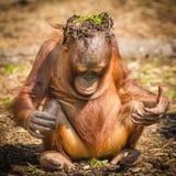 Håll kalla Orangutang Royaltyfri Bild