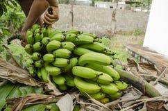 Håll som klipper banangruppen royaltyfria foton