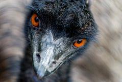 hålla ögonen på för emu Arkivbilder