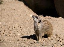 hålla ögonen på för meerkatmerkat Fotografering för Bildbyråer