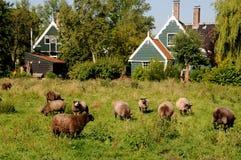 Hålla djur i Zaanse Schans Arkivbild