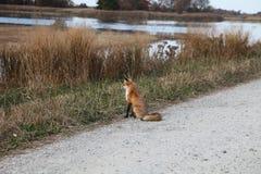Hållande ögonen på gräs för röd räv för rörelse Royaltyfri Bild