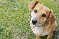 Hållande ögonen på gullig liten hund Fotografering för Bildbyråer