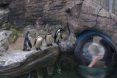 Hållande ögonen på Humboldt pingvin royaltyfria bilder