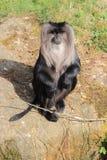 Hållande ögonen på Lejon-tailed Macaque Royaltyfri Foto