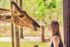 Hållande ögonen på och matande giraff för lycklig ung kvinna i zoo Den lyckliga unga kvinnan som har gyckel med djursafari, parke Arkivbild