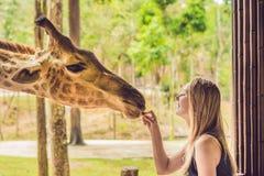Hållande ögonen på och matande giraff för lycklig ung kvinna i zoo Den lyckliga unga kvinnan som har gyckel med djursafari, parke Arkivfoton