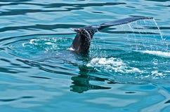 Hållande ögonen på puckelryggval precis för en dyk på Husavik fjärdområde arkivfoton