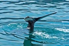 Hållande ögonen på puckelryggval precis för en dyk på Husavik fjärdområde royaltyfri foto