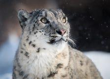Hållande ögonen på snö för snöleopard att falla royaltyfri bild