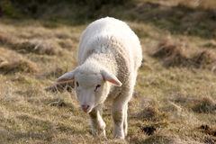 hållande ögonen på white för lamb Arkivbild