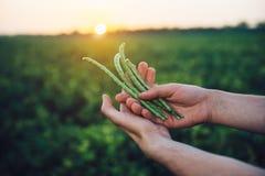 Hållande bönaskörd för bonde i händer som står på grönt fält för det jordbruks- branschbegreppet för skörd Fotografering för Bildbyråer