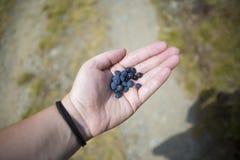 Hållande blåbär för hand Royaltyfri Bild