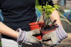 Hållande hallonväxter royaltyfri fotografi