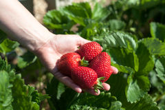 Hållande jordgubbar för hand Royaltyfria Foton