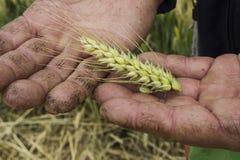 Hållande korn för bonde Arkivfoton