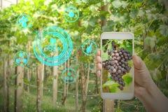hållande mobiltelefon för hand som kontrollerar druvor i jordbrukträdgård med begreppsteknologier fotografering för bildbyråer