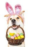 Hållande påskkorg för gullig hund som bär Bunny Ears Royaltyfri Bild