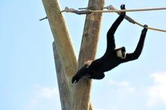 Hållande rep för Gibbon apa (Nomascus) Royaltyfria Foton