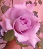 Hållande rosa färgros Arkivbild