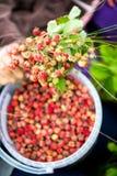 Hållande sommargrupp för liten flicka av mogna lösa jordgubbar Royaltyfria Bilder