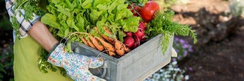 hållande spjällåda för bonde som är full av nytt skördade grönsaker i henne som är trädgårds- Självodlat bio jordbruksprodukterbe royaltyfria bilder