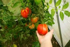 Hållande tomatoe i växthus Arkivbild