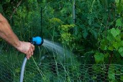 Hållande vattenslang för män som bevattnar tomater och andra växter i hans trädgård royaltyfri foto