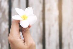Hållande vit Frangipaniblomma för hand Fotografering för Bildbyråer