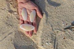 Hållande vita stora skal, i att räcka i Aruba royaltyfri bild