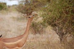 hånglad antilopgiraff fotografering för bildbyråer