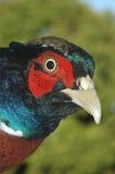 hånglad pheasantcirkel Arkivbilder