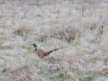 hånglad pheasantcirkel Arkivfoton